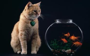 temptation_-_cat_and_goldfish_bowl